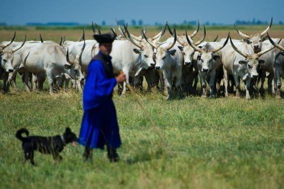 Статус пастуха в деревне