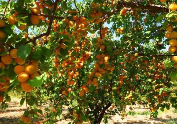 Народное лечение травами: абрикос обыкновенный