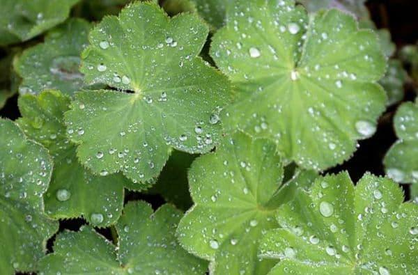 Народное лечение травами: аксютина трава