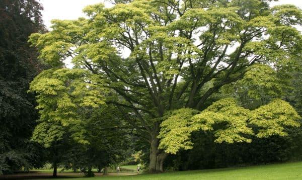 Народное лечение травами: бархатное дерево