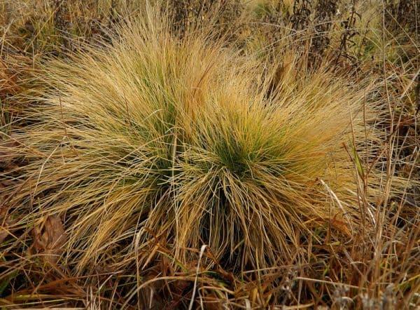 Народное лечение травами: белоус торчащий