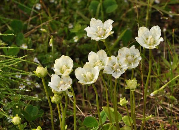 Народное лечение травами: белозор