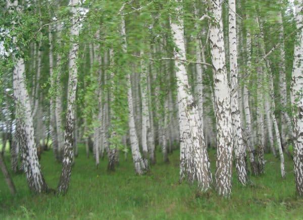Народное лечение травами: береза повислая
