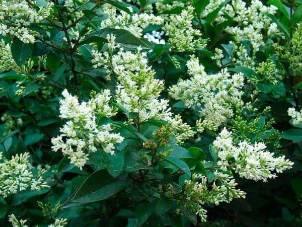 Народное лечение травами: бирючина