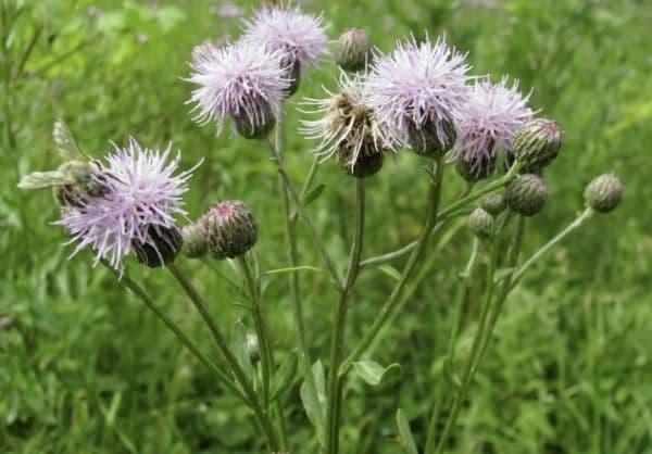 Народное лечение травами: бодяк полевой