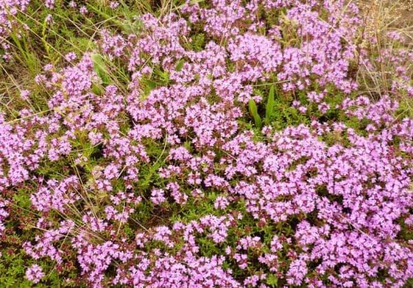 Народное лечение травами: богородская трава