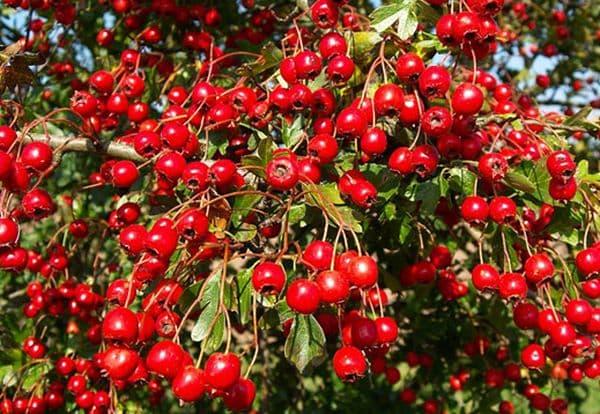 Народное лечение травами: боярышник кроваво-красный