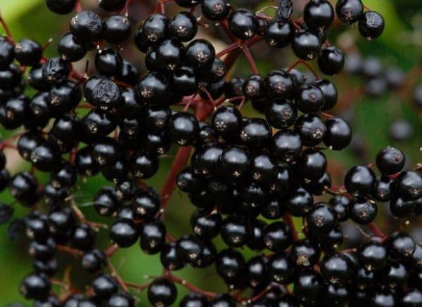 Народное лечение травами: бузина черная – Sambucus nigra (L)