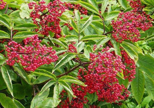 Народное лечение травами: бузина красная