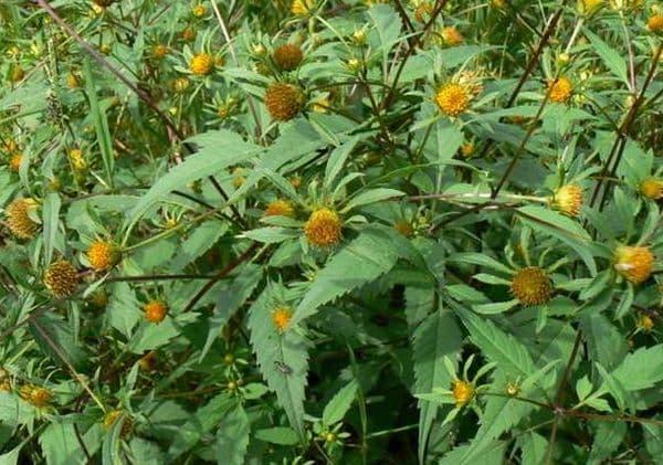 Народное лечение травами: череда трехраздельная