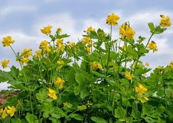 Народное лечение травами: чистотел большой