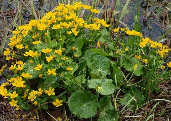 Народное лечение травами: калужница болотная