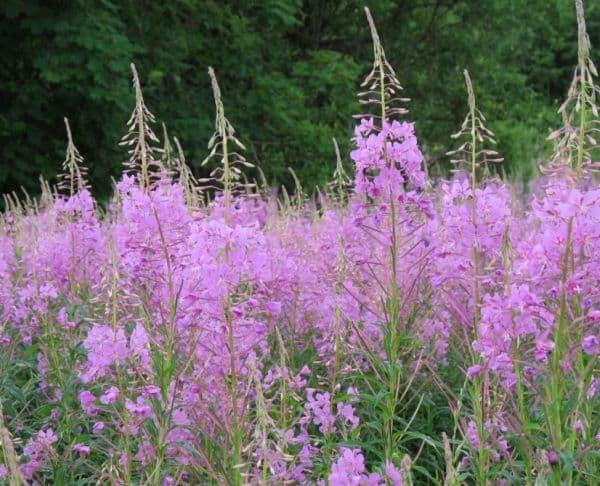 Народное лечение травами: кипрей узколистный