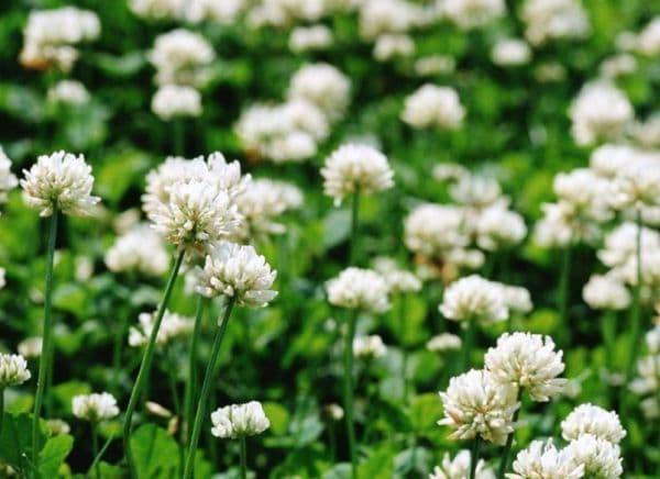 Народное лечение травами: клевер ползучий