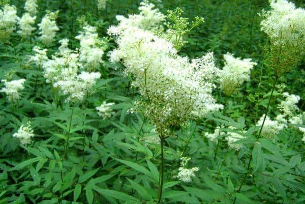 Народное лечение травами: лабазник вязолистный