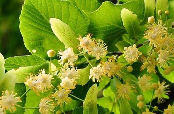 Народное лечение травами: липа