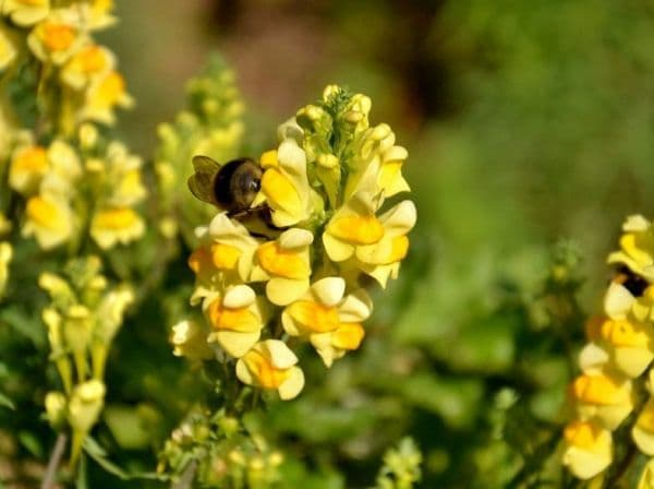 Народное лечение травами: льнянка обыкновенная – Linaria vulgaris (L)