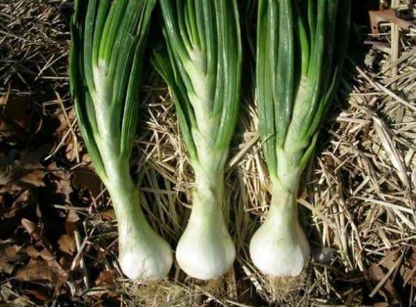 Народное лечение травами: лук репчатый