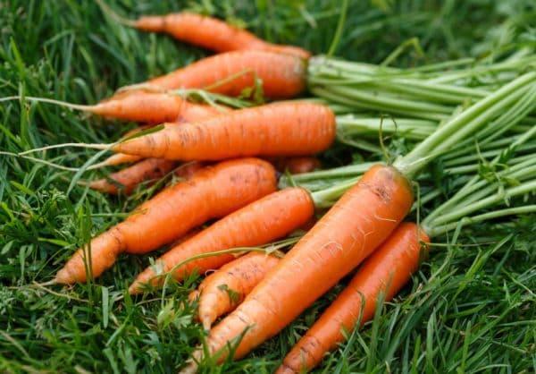 Народное лечение травами: морковь