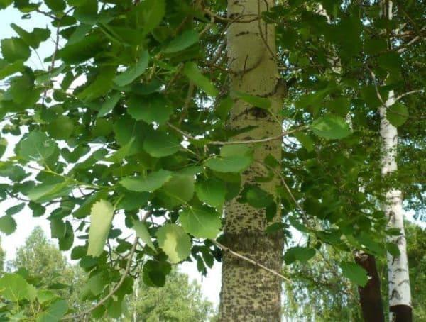 Народное лечение травами: осина