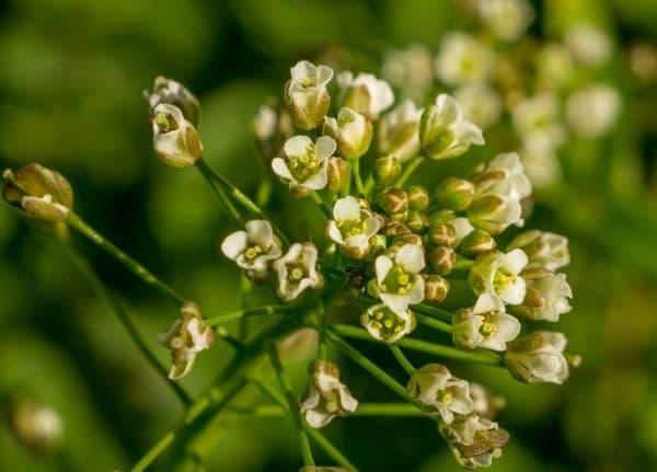 Народное лечение травами: пастушья сумка обыкновенная