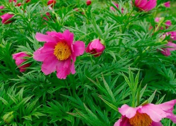 Народное лечение травами: пион