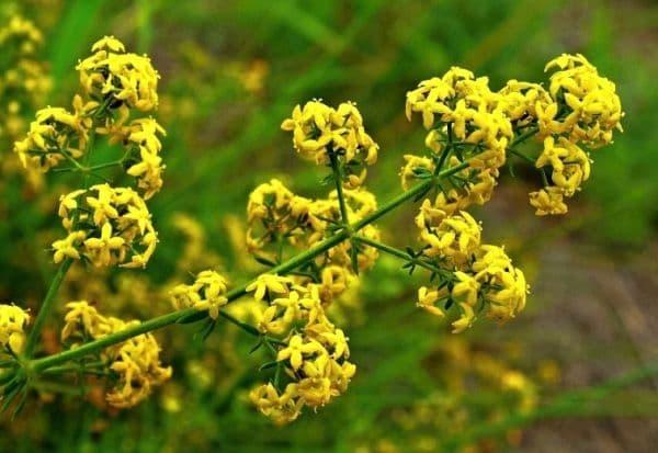 Народное лечение травами: подмаренник настоящий – Galium verum (L)