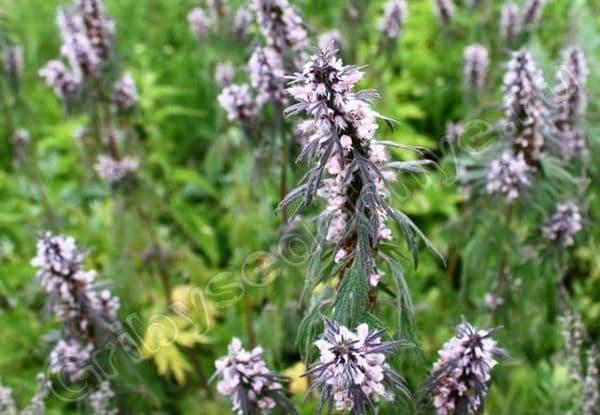 Народное лечение травами: пустырник сердечный