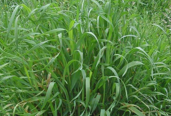 Народное лечение травами: пырей ползучий