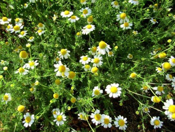 Народное лечение травами: ромашка аптечная
