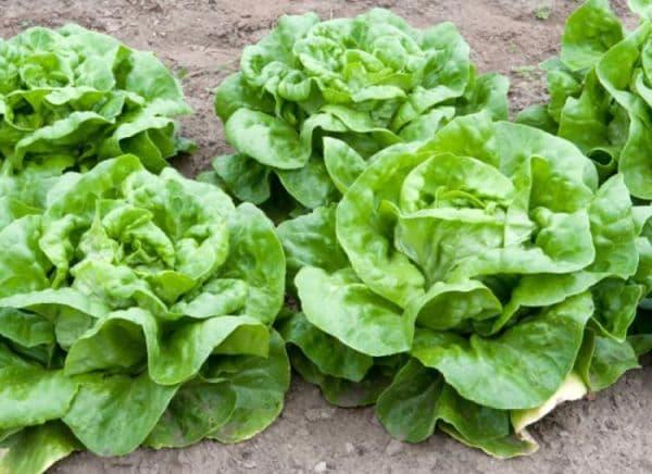 Народное лечение травами: салат