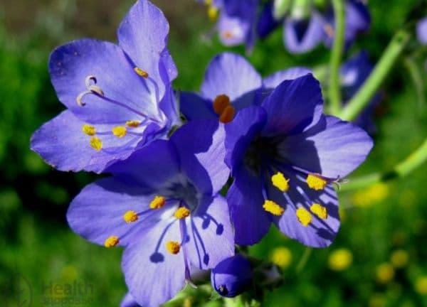 Народное лечение травами: синюха лазурная – Polemonium caeruleum (L)