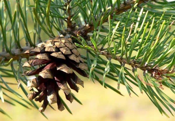 Народное лечение травами: сосна обыкновенная