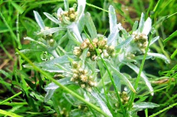 Народное лечение травами: сушеница топяная