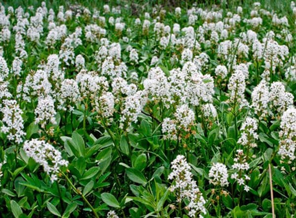 Народное лечение травами: вахта трехлистная – Menyanthes trifoliata (L)