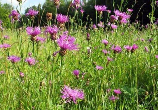 Народное лечение травами: василек луговой