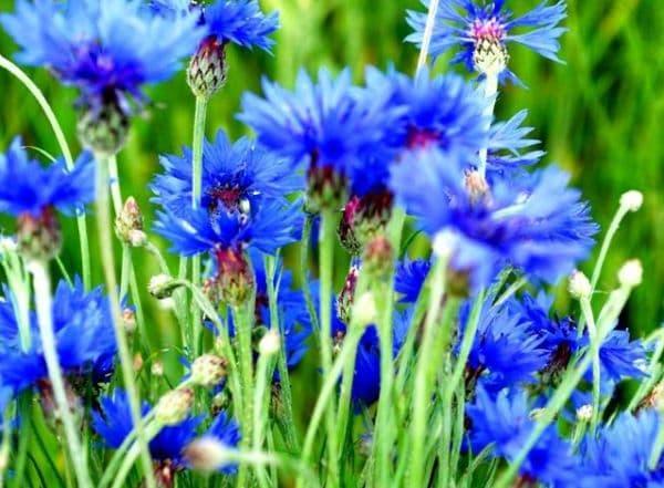 Народное лечение травами: василек синий