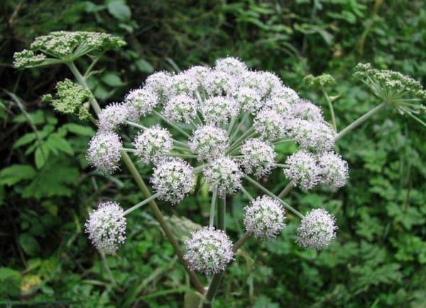 Народное лечение травами: вех ядовитый (цикута)
