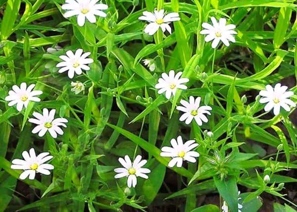 Народное лечение травами: звездчатка